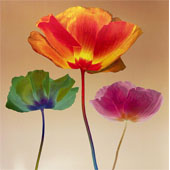 Poppy Chromatic